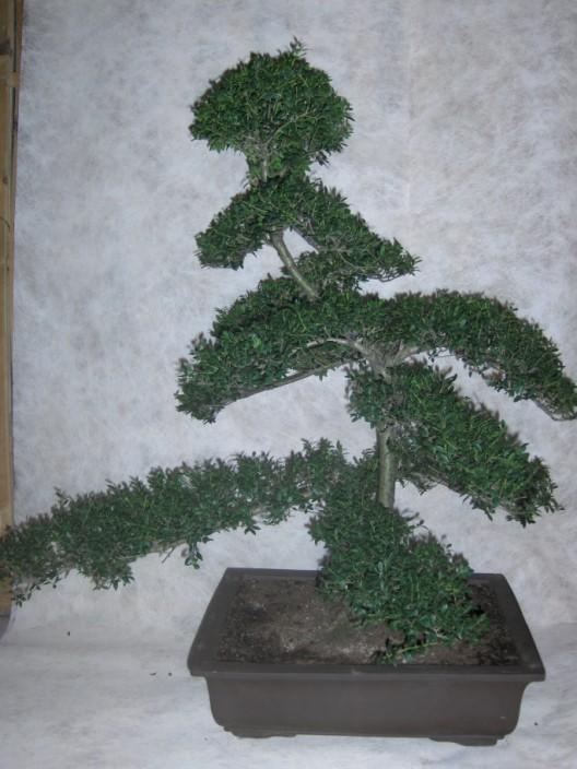 bonsai0.jpg