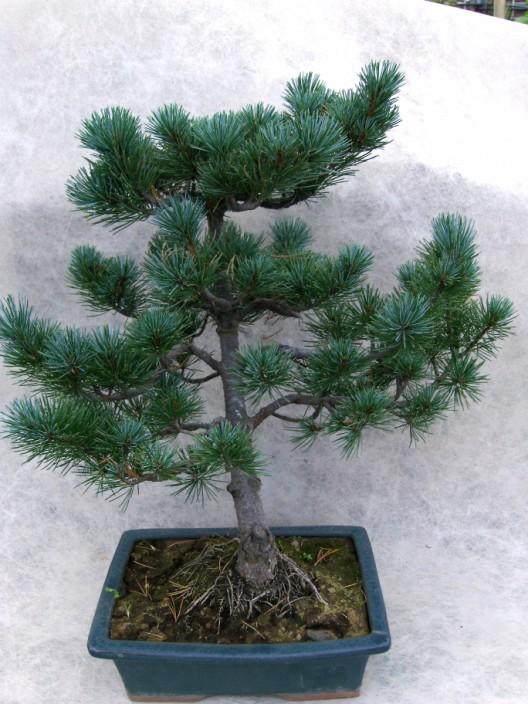 bonsai13.jpg