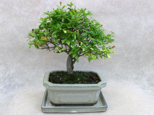 bonsai22.jpg