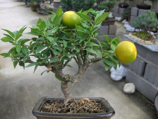 bonsai33.jpg