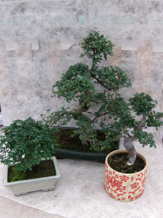 bonsai6.jpg